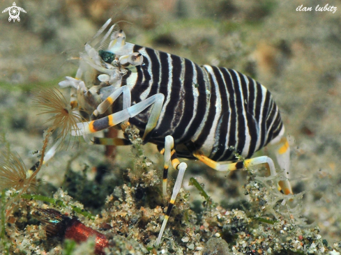 A Bumbelbee Shrimps