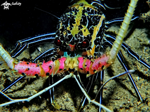 A Panulirus versicolor |  Painted spiny Lobster