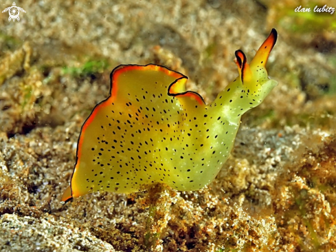 A Elysia ornata | Sea Slug