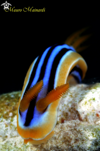 A Nudibranch chromodoris
