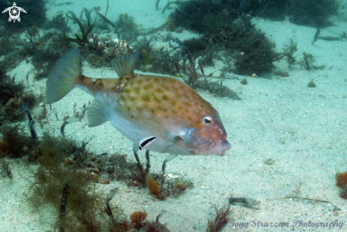 A Mosaic Leatherjacket and Cleaner Wrasse