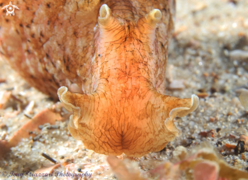 A Sowerby's Sea Hare