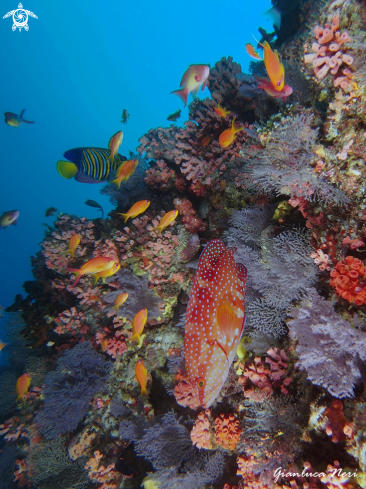 A Coral grouper, anthias, empress angelfish, soft corals