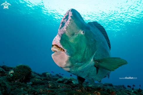 A bumphead Parotfish