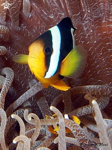A Amphiprion clarkii | Clownfish