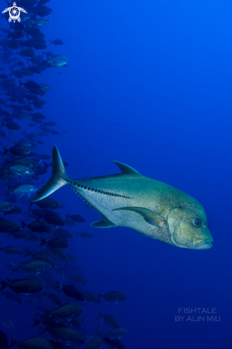 A Bluefin Trevally