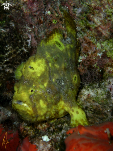 A Frogfish