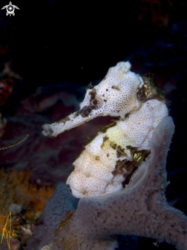 A Lined Seahorse