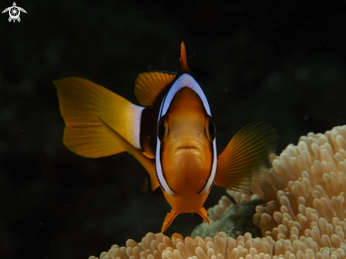 A Clark's Anemonefish (Amphiprion clarkii)