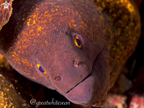 A Yellow-edged Moray Eel