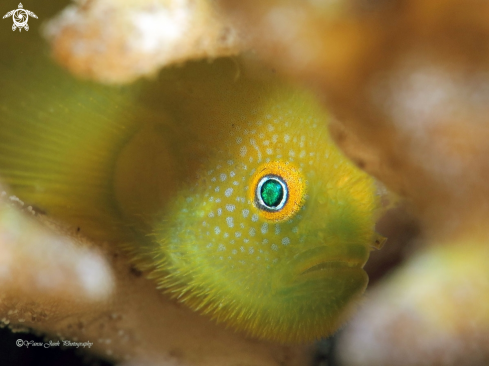 A Hairy Goby