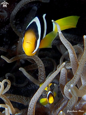 A Black clownfish