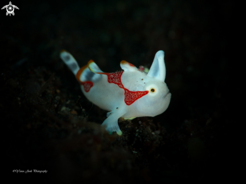 A Juve : Clown frogfish Antennarius maculatus