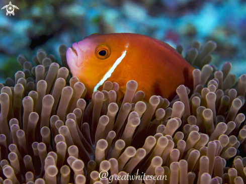 A Maldive Clownfish and Anemone