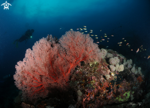 A Sea fan, Gorgonian