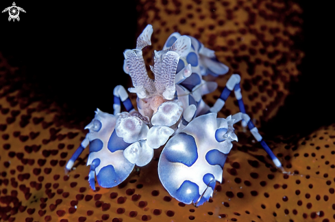A Arlequin shrimp