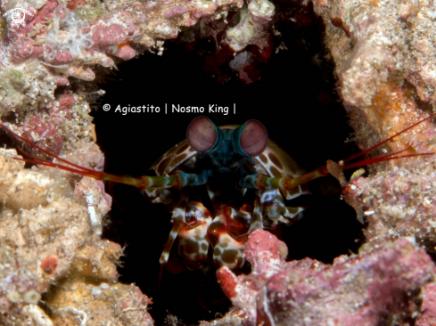 A Peacock Mantis Shrimp