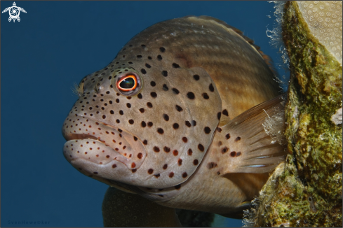 A Forster's Hawkfish