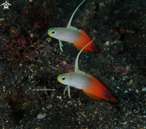 A Fire goby