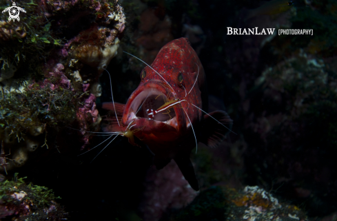 A Coral Trout with Commensal Shrimp