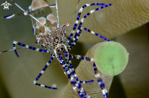 A periclimenes yucatanicus | spotted anemone shrimp