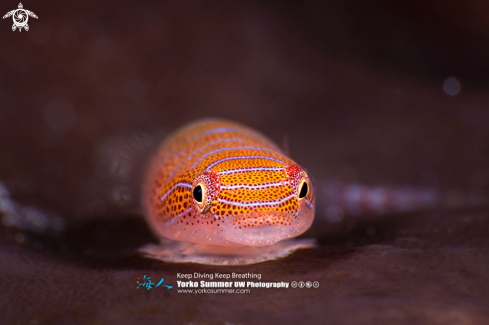 A Western Cleaner Clingfish