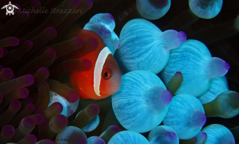 A Amphiprion frenatus | Tomato Clownfish