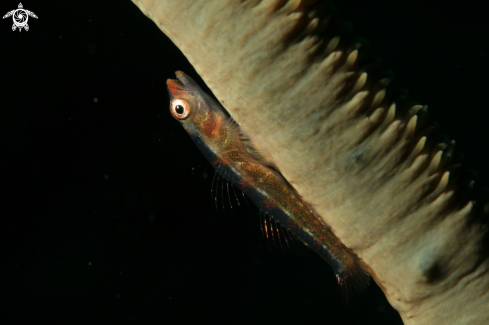 A Whip coral dwarf goby