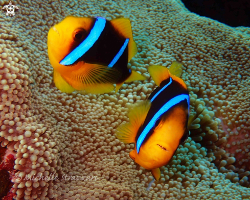 A Amphiprion clarkii | Yellowtail Clownfish