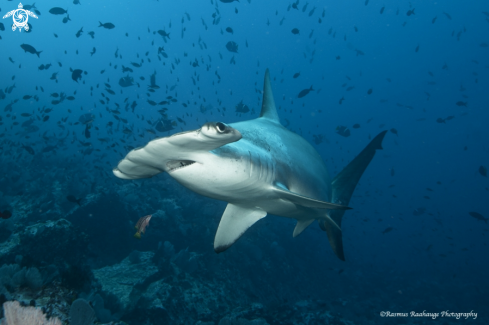 A Scalloped Hammerhead shark