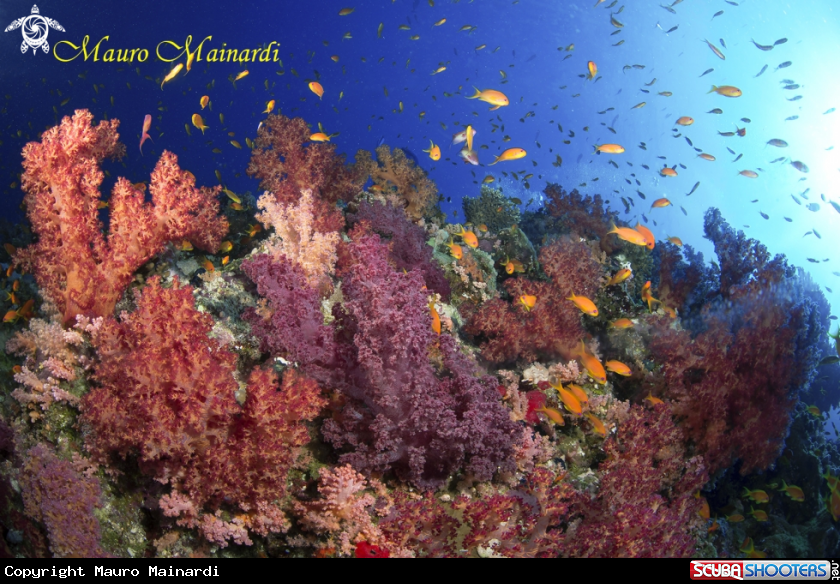 A Red Sea soft corals Panorama