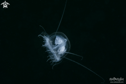 A Freshwater Jellyfish