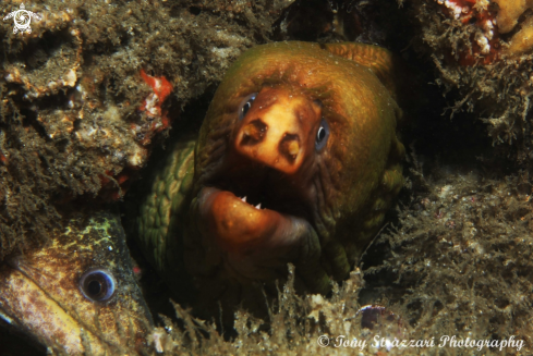 A Green moray eel