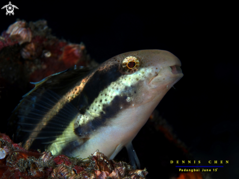 A Shorthead fang blenny
