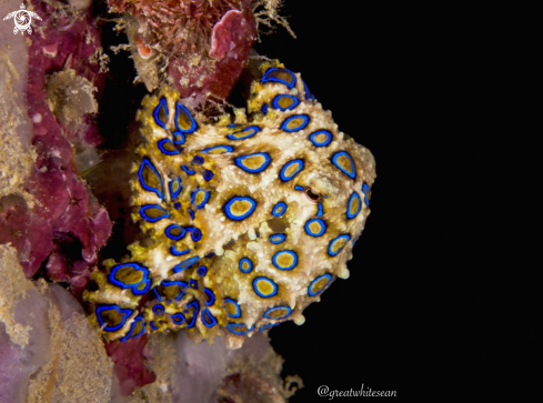 A Blue Ringed Octopus