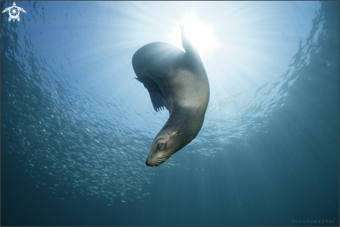 A Zalophus californianus | Sea Lion