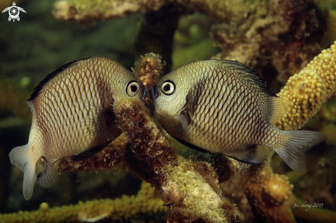 A Two stripe damselfish