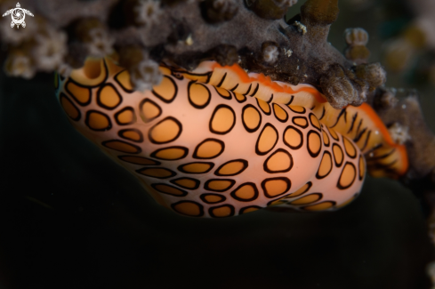 A Flamingo tongue
