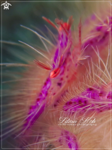 A Hairy Squat Lobster