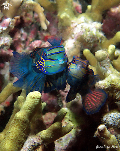 A Synchiropus splendidus | Mandarin fish