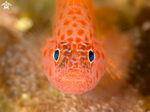 A SPOTTED GOBY