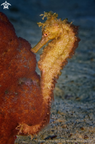 A Seahorse from the Moluccas