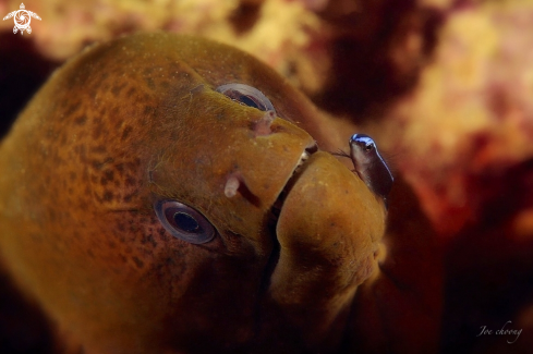 A Moray eel v cleaner wrasse