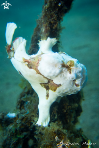 A clown frogfish