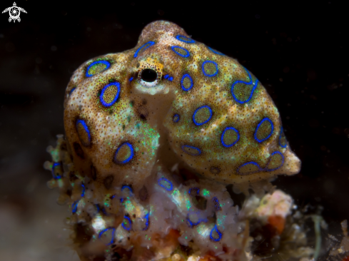 A Blue Ring Octopus Juvenile