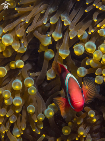 A Clownfish in Anemone