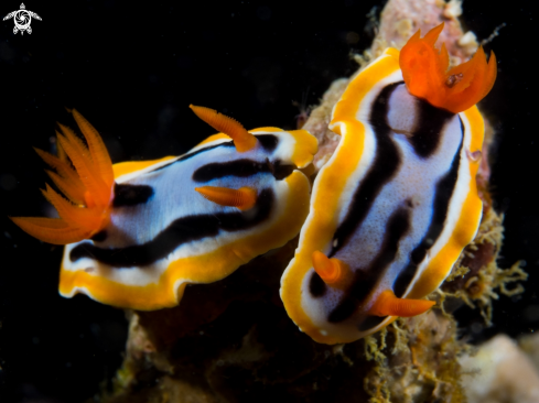 A Two Nudibranch