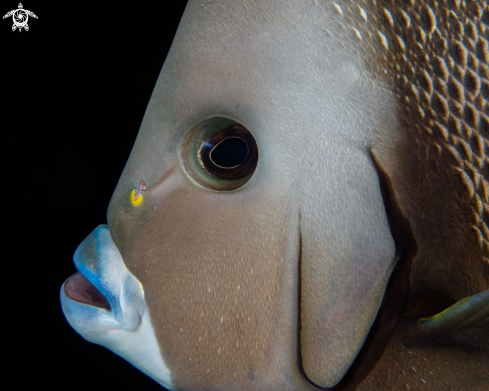 A Pomacanthus paru | French Angelfish