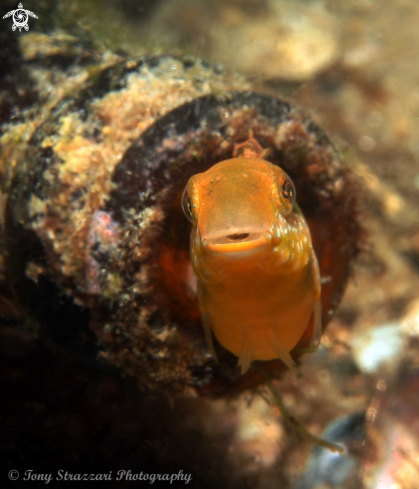 A Brown Sabretooth blenny