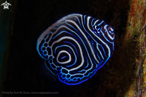 A Emperor Angelfish juv.